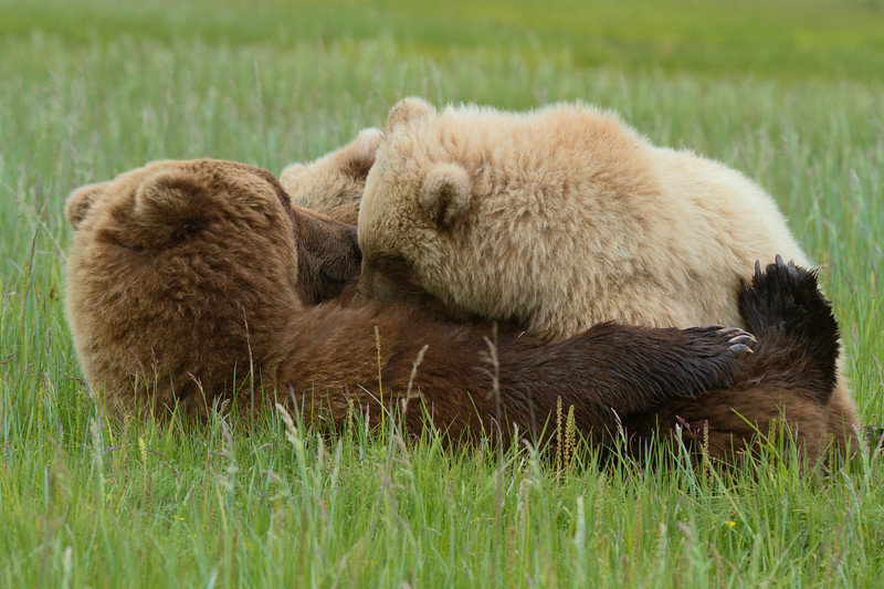 Nursing Brown Bears - Lake Clark National Park, Alaska