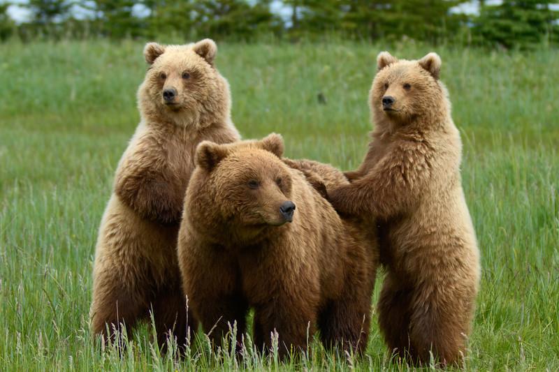 Standing Brown Bear Cubs - Lake Clark National Park, Alaska