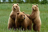 Standing Brown Bear Cubs - Lake Clark National Park, Alaska