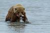 Brown Bear - Lake Clark National Park, Alaska