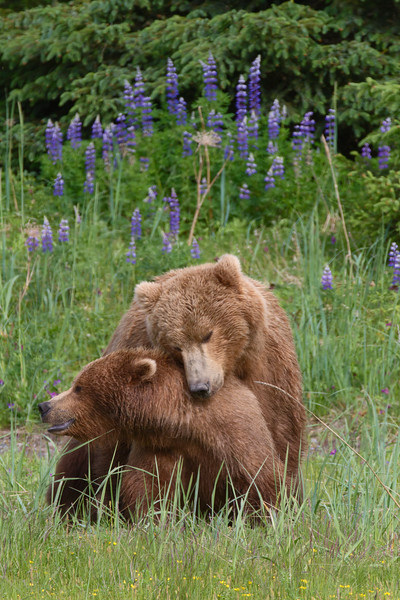 Mating Brown Bears - Lake Clark National Park, Alaska