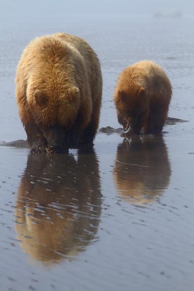 Brown Bears - Lake Clark National Park, Alaska