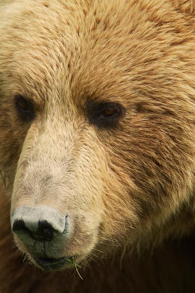 Brown Bear, Lake Clark Nat'l. Park,  Alaska