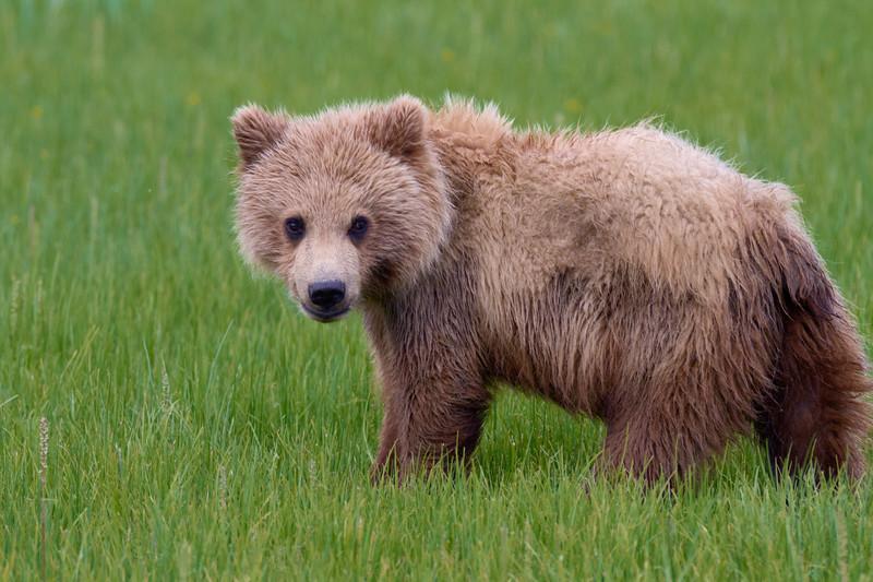 Brown Bear Cub - Lake Clark National Park, Alaska