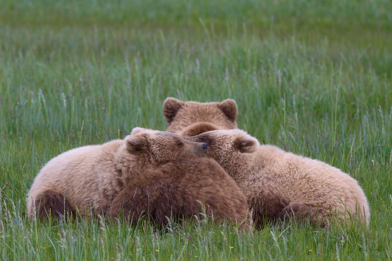 Napping Brown Bears - Lake Clark National Park, Alaska