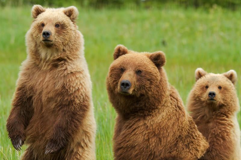 Brown Bears, Lake Clark Nat'l. Park,  Alaska