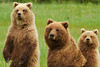 Brown Bears, Lake Clark Nat'l. Park,  Alaska