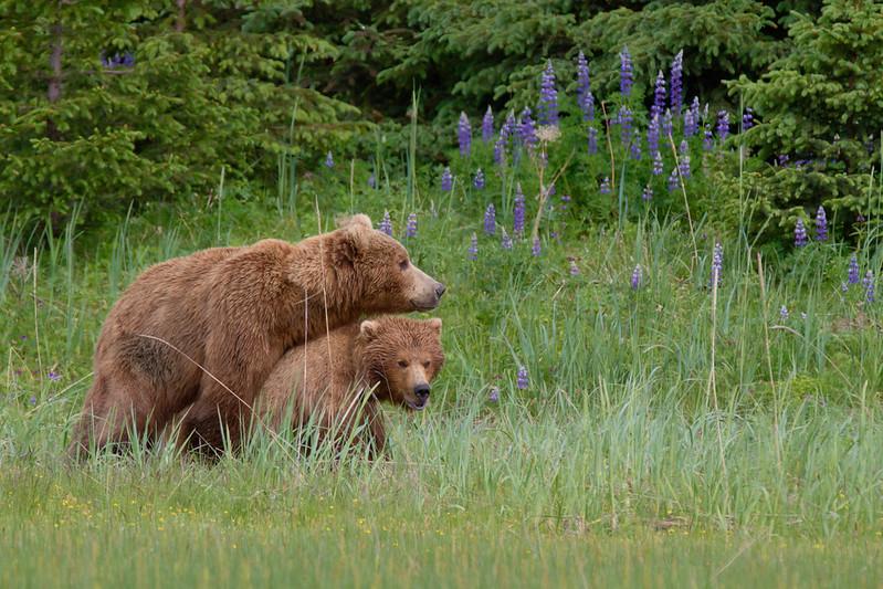 Mating Brown Bears - Lake Clark National Park, Alaska
