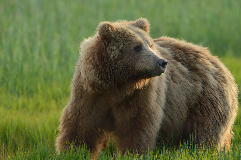 Brown Bear - Lake Clark National Park, Alaska