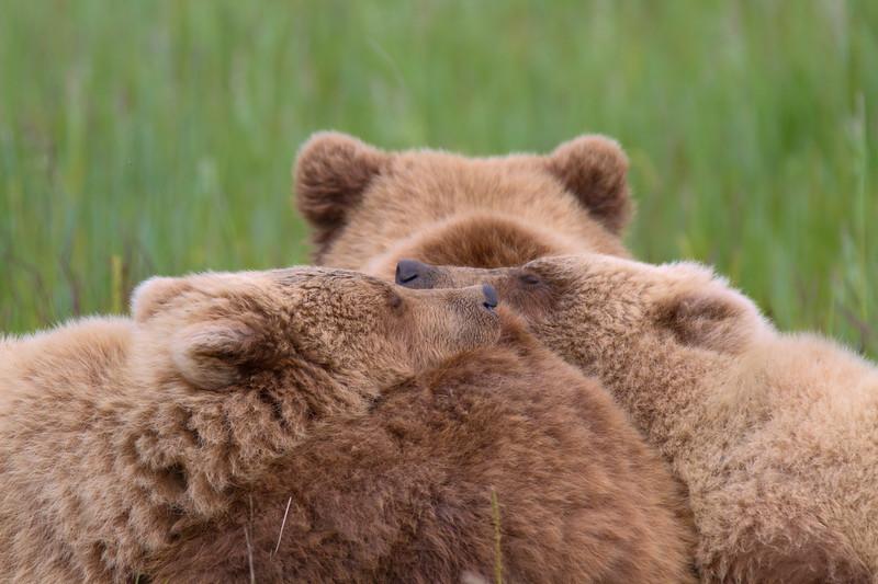 Napping Brown Bear Cubs - Lake Clark National Park, Alaska