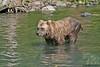 Brown Bear in Glacial Water