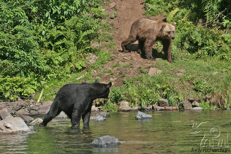 Black & Brown Bear Standoff