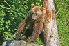 Brown Bear at Wolverine Creek scratching back against tree trunk