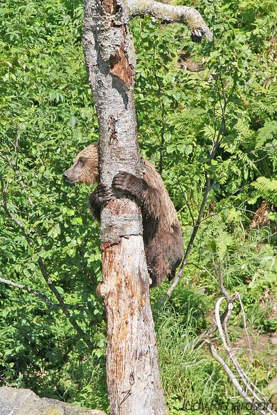 Brown Bear Climbing