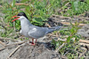 Arctic Tern Guarding Nest