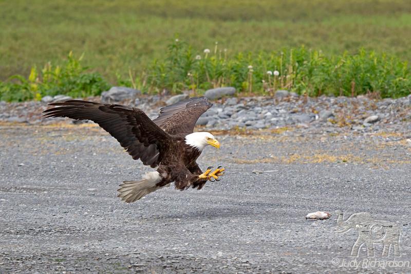 Bald Eagle after a dropped fish in Valdez