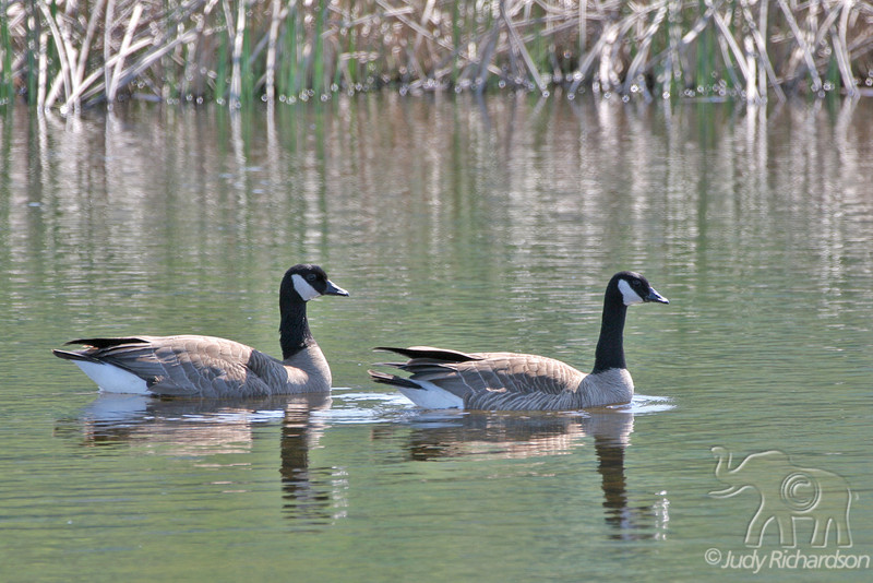 Canada Geese @ Potter's Marsh