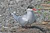 Arctic Tern @ Potter's Marsh