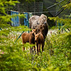 This moose and two calves appeared in front of the condo we were staying at in Soldotna.  We first saw them in this yard across the road.  They crossed the road and came right into our driveway.  I took several photos before the mother got a bit upset with me.  She flattened her ears and I immediately retreated.