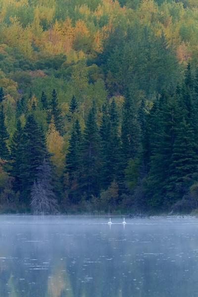 Swans, Three Mile Lake, Chitina, Alaska