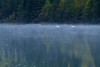 Swans, Three Mile Lake, Chitina, Alaska