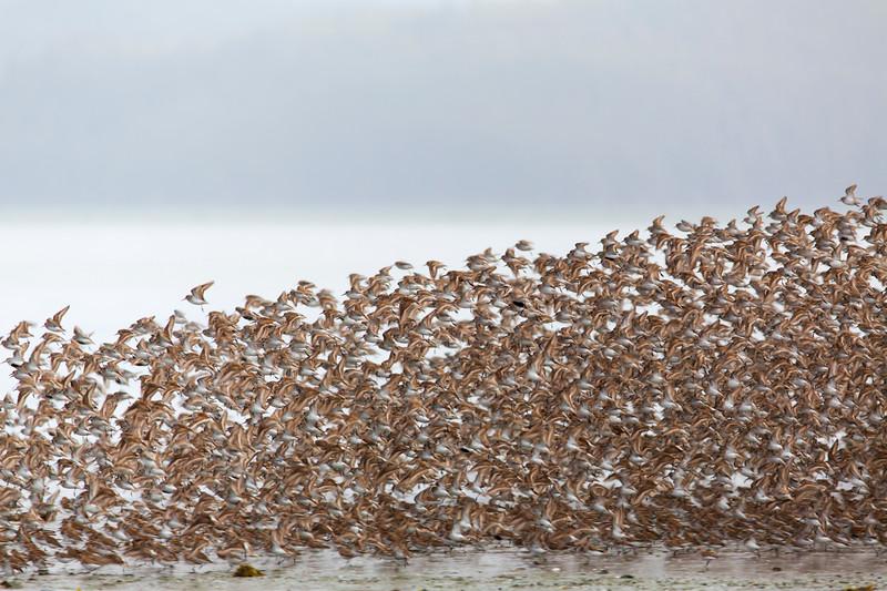 Western Sandpiper Migration