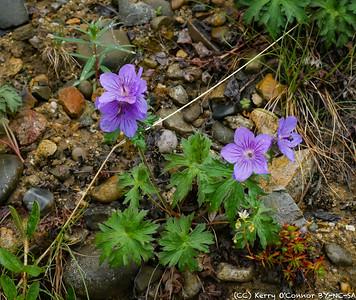 Trio - geranium, fireweed, saxifrage