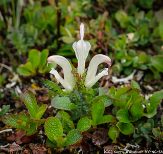 Capitate Lousewort - Eielson Center, Denali