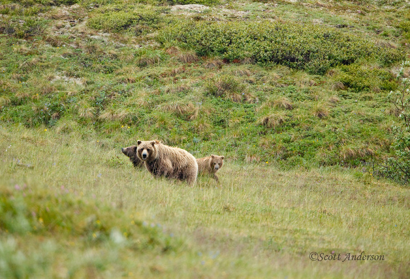 On our 2nd day we rode the bus in the rain and found this grizzly sow with her 2 cubs.  They climbed up the ridge and came right up to our bus.