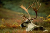 Autumn caribou in the Wyoming Hills of Denali National Park