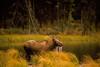 Cow moose feeding in a taiga pond near Riley Creek in Denali National Park.