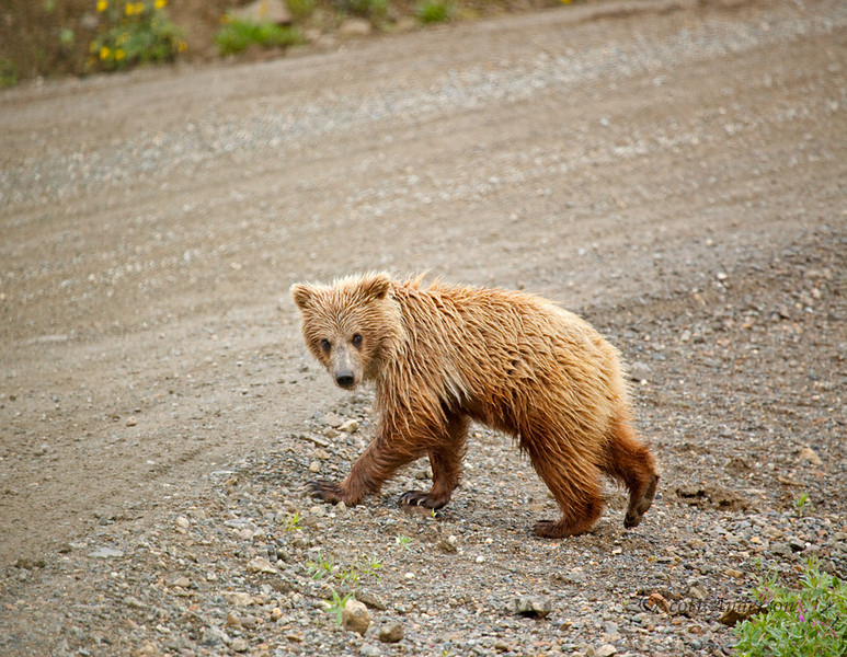 This cub climbed right in front of our bus.