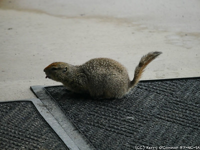 Ground Squirrel licking the mat, going for salt