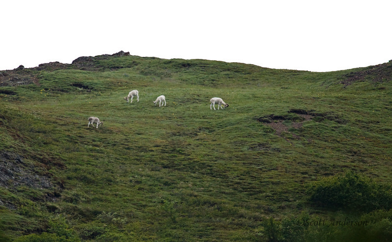 These are Dall's sheep grazing on the mountainside.  Interestingly, Denali was turned into a National Park to protect the sheep from hunters.