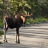 This moose was in the road just before our campground.