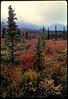 Autumn taiga in Denali National Park.