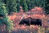 AK-1987-s406a Denali moose