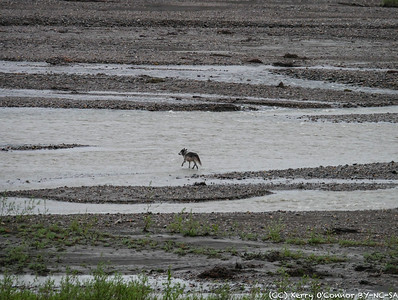 Grey wolf in the braided river - Denali National Park
