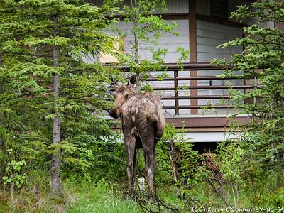 Mamma Moose - Denali