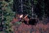 AK-1987-s408a Denali moose