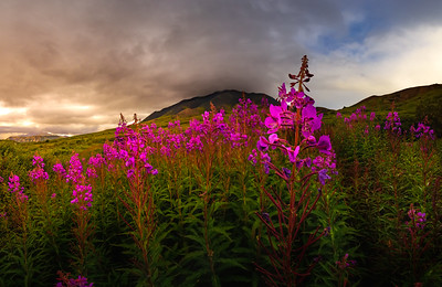 Denali Wildflowers