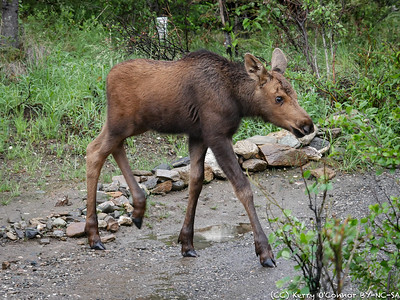 Baby Moose Walking
