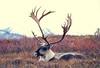AK-1987-s427a Denali caribou