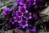 Purple mountain saxifrage from the tundra ridges in the Alaska Range.<br /> <br /> Saxifraga oppositifolia