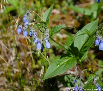 Bluebells - Denali