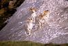 AK-1991-s031a Denali sheep Primrose 6-6-91