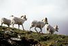 AK-1991-s020a Denali sheep Primrose 6-6-91
