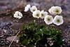 Wind flowers - anemones.<br /> Anemone