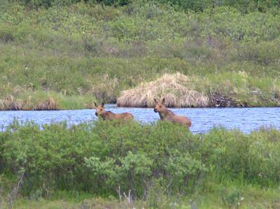 Moose calfs