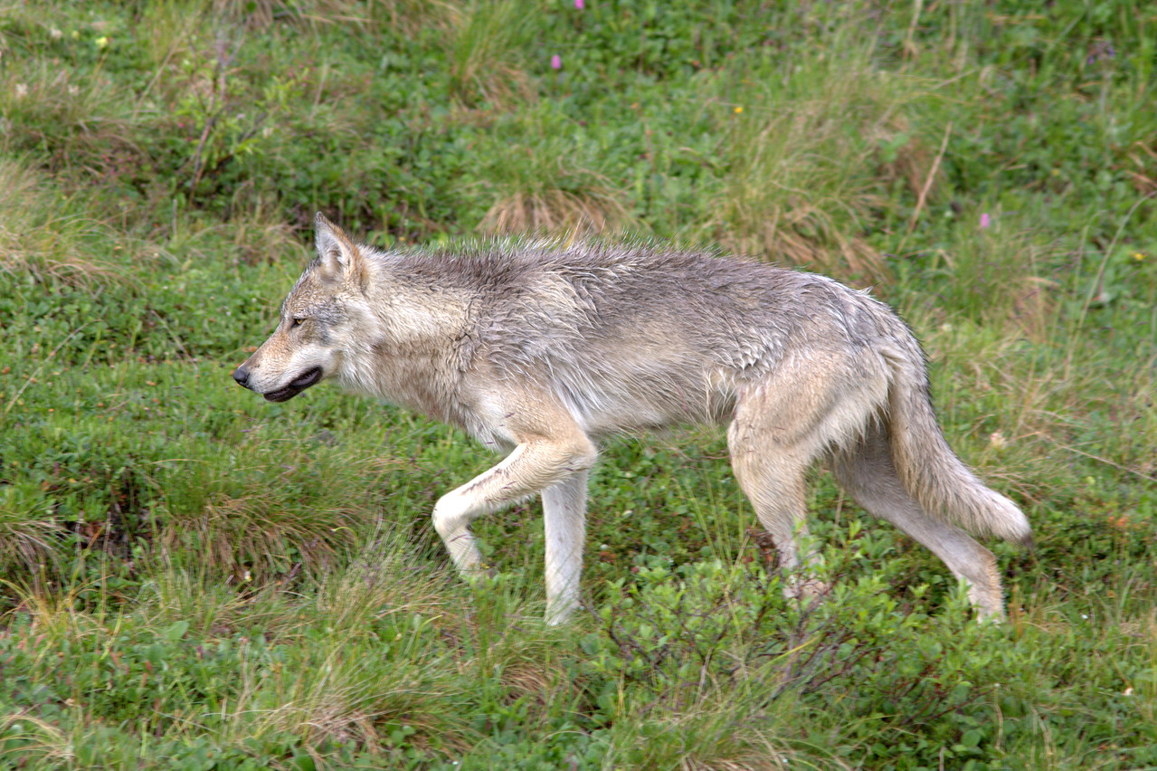 Grey wolf close to bus